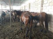 Продам оптом  49 голов Лошадей кобыл 190 000 тг для развода или убой