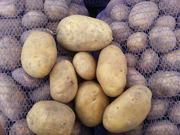 Картофель (белый) оптом в Актау,  1100 тонн в наличии,  свежий урожай.